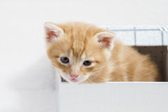 Small kitten stuck in a gift box, cuddly animal sweet face Royalty Free Stock Photography