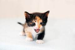 The small kitten terribly growls. On table Royalty Free Stock Images