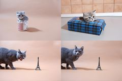 British Shorthair kittens and Tour Eiffel, Paris, multicam Royalty Free Stock Images