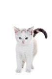 Small kitten on white royalty free stock images