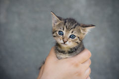 Small kitten in woman hand Royalty Free Stock Photos