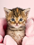 Small kitten wrapped in pink banket Stock Photos