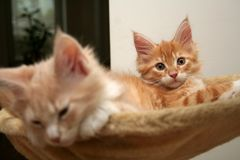 Small kittens Royalty Free Stock Images