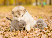 Small kittens and alaskan malamute puppy in autumn park.  Stock Images
