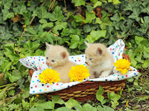 Small kittens in basket Stock Images
