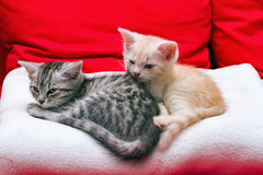 Small kittens are going to sleep Royalty Free Stock Photos