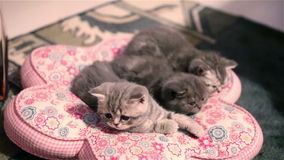Small kittens lying on a pillow stock video