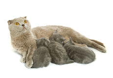 Small kittens and mother-cat Stock Images