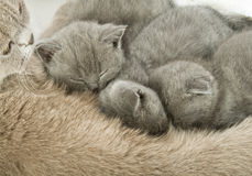 Small kittens and mother-cat Stock Image