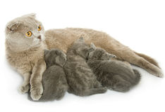Small kittens and mother-cat Royalty Free Stock Photos