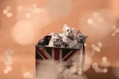 Small kittens in a photo studio. Small British Shorthair kittens in a Union Jack box Stock Photo