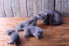 Small kittens playing with mom Royalty Free Stock Images