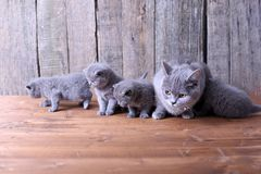 Small kittens playing with mom Royalty Free Stock Photos