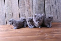 Small kittens playing with mom Stock Photography