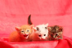Small kittens on red Royalty Free Stock Photos