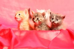 Small kittens on red Royalty Free Stock Image