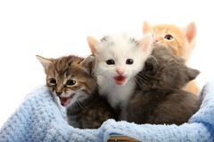 Small kittens in straw basket stock photography