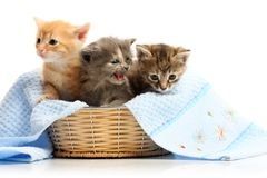 Small kittens in straw basket Royalty Free Stock Photography