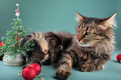 Small  kittenwith mother cat among Christmas stuff Royalty Free Stock Image