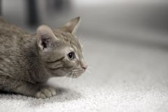 Small Kitty Royalty Free Stock Photo