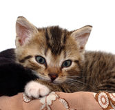 Small Kitty Stock Image