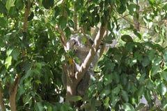 Small of koala on eucalyptus tree royalty free stock photo