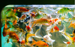 Small koi carp. And golden fish Royalty Free Stock Photo