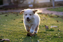 Small labrador. Playing on the green grass Stock Image