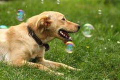 Small labrador in the green grass Stock Photos