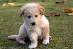Small labrador puppy. Small labrador playing on the green grass Stock Image