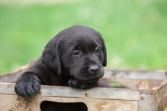 Small Labrador puppy in box. Cute black labrador puppy being playful outside in wooden box in spring time Stock Photo