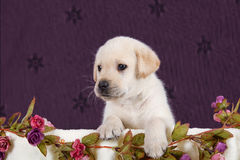 Small labrador puppy with flowers in blanket on pink pattern. Background studio Royalty Free Stock Photo