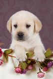 Small labrador puppy with flowers in blanket on pink pattern. Background studio Stock Images