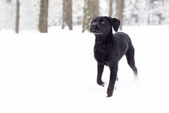 Small Labrador Retriever dog enjoys the snow Royalty Free Stock Images