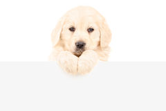 A small labrador retriever dog standing behind blank panel Stock Image