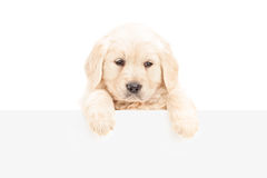 A small labrador retriever posing behind a blank panel Royalty Free Stock Images
