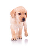 Small labrador retriever puppy dog walking forward Royalty Free Stock Photo