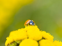 Small ladybug Royalty Free Stock Image