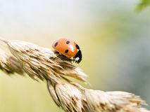 Small ladybug Royalty Free Stock Images