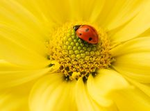 Small ladybug. Sleeping on yellow flower's petals Stock Image