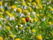 Small ladybug among daisies. royalty free stock images