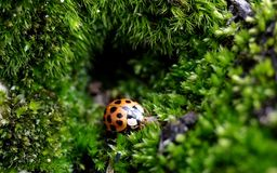 Small ladybug in the moss cave Stock Image