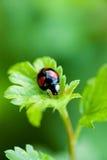 Small ladybug sitting at green leaf Stock Photo