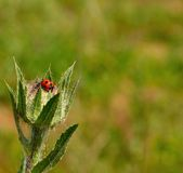 Small ladybug on wild thistle in foreground. Small ladybug on wild thistle Stock Photography