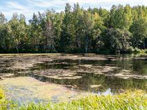 A small lake covered with mud with a birch forest on the shore stock photos