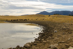 Small lake in Flatirons Vista Trailhead, Colorado. A group of farm cattle is released into the trailhead for drinking and free roaming around the area Stock Image