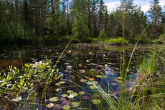 Small lake in the forest with reflection, water lily and wooden house, Norway Stock Photos