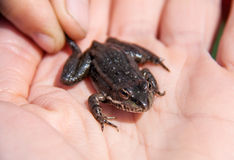 Small lake frog sitting on a hand Stock Images