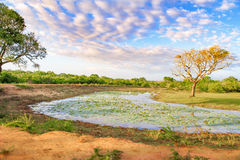 Small lake full of water lillies in sri lanka. On a sunny day stock images