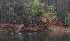 Ducks wild on the water of the forest lake in autumn Royalty Free Stock Photo